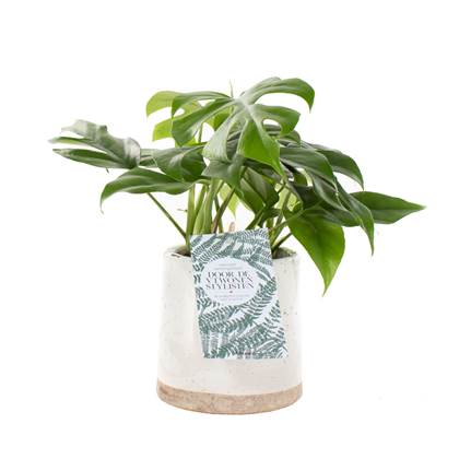 Green Lifestyle Store - Monstera minima incl. 'Ceramic Face' pot by