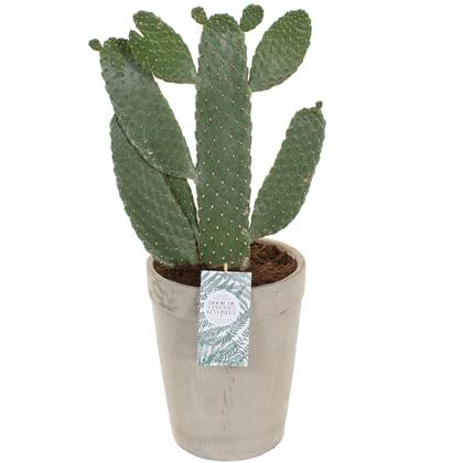 Green Lifestyle Store - Opuntia Consulea incl. 'Acapulco' pot by vtw